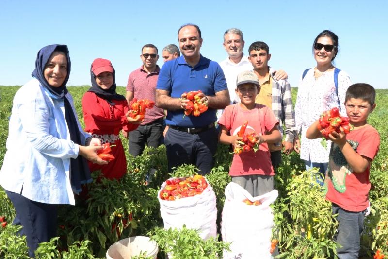 Başkan Çiftçi isot Hasadına Katıldı