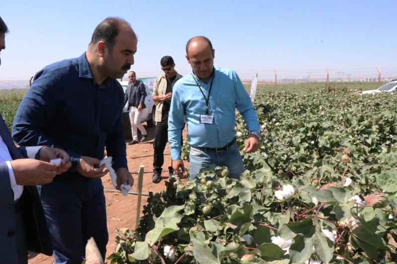 Başkan Çiftçi,Yerli Tohumla Üretilen Pamuk Hasadına Katıldı