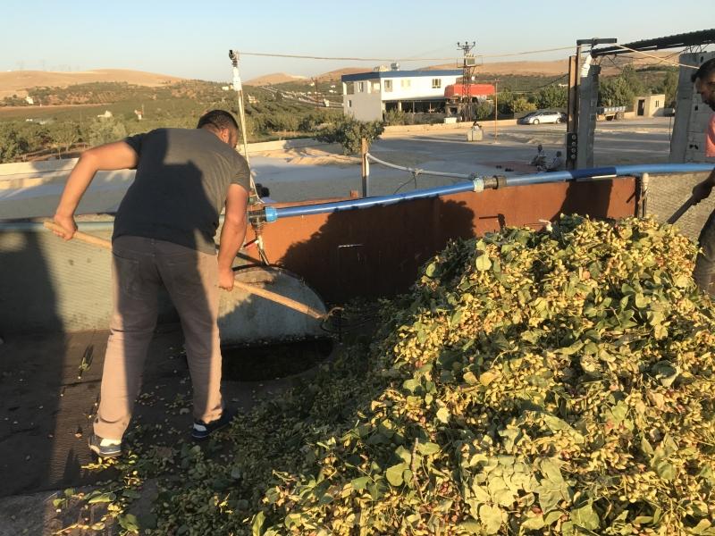 Şanlıurfa ve bölgede fıstık hasat dönemi başladı. Fıstık İşletme tesisleri talepleri karşılamaya çalışıyor.