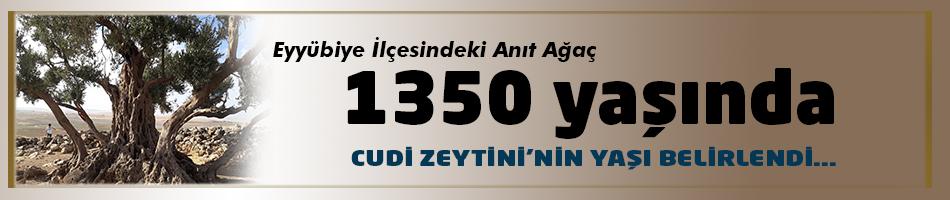 CUDİ ZEYTİNİ 1350 YAŞINDA